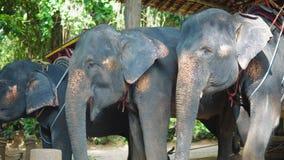 Tres elefantes en los turistas que esperan de la granja para montar a través de la selva metrajes
