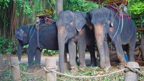 Tres elefantes que comen el bastón en granja después de montar con los turistas almacen de metraje de vídeo