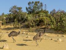 Tres emúes que caminan dentro de los pináculos abandonan, Australia occidental fotos de archivo libres de regalías