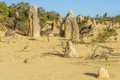 Tres em?es que caminan dentro de los pin?culos abandonan, Australia occidental fotos de archivo libres de regalías