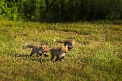 Tres equipos del Fox rojo (vulpes del Vulpes) corren a través de la hierba Imagen de archivo