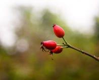 Tres escaramujos maduros rojos enormes en el canina de Rosa de la rama Imagen de archivo libre de regalías