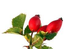 Tres escaramujos y hojas rojos Imagen de archivo libre de regalías