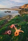 Tres estrellas de mar en el punto Reyes Imagen de archivo libre de regalías
