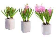 Tres etapas de crecimiento de una flor del jacinto Fotografía de archivo