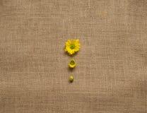 Tres etapas de las margaritas florecientes - camomiles en el fone de la arpillera Fotografía de archivo libre de regalías
