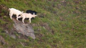 Tres felices cabras