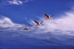 Tres flamencos que vuelan, desierto de Atacama, Chile Foto de archivo libre de regalías