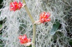 Tres floraciones de la bromelia en tallo Imagen de archivo libre de regalías