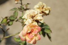 Tres flores Fotografía de archivo