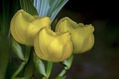 Tres flores amarillas de la orquídea de la cuna del bebé fotografía de archivo libre de regalías