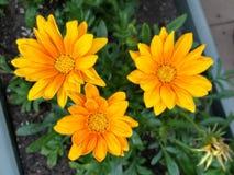 Tres flores amarillas del Gazania foto de archivo