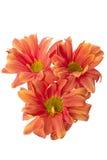 Tres flores anaranjadas Imágenes de archivo libres de regalías