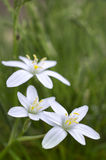 Tres flores blancas en hierba verde. Imagenes de archivo