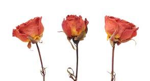 Tres flores color de rosa secadas Fotografía de archivo