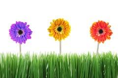 Tres flores coloridas del gerbera imagen de archivo libre de regalías