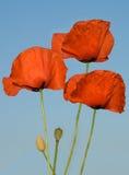 Tres flores de la amapola Fotografía de archivo libre de regalías