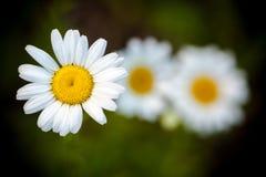 Tres flores de la margarita Imágenes de archivo libres de regalías