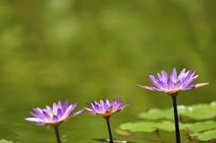 Tres flores de loto Fotos de archivo libres de regalías