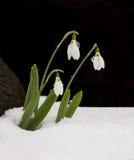 Tres flores de Snowdrop en nieve en fondo negro Fotos de archivo libres de regalías