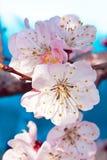 Tres flores de un albaricoque Fotografía de archivo libre de regalías