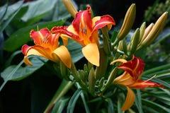 Tres flores de un hemerocallis Fotos de archivo