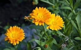 Tres flores del Calendula en fondo borroso fotos de archivo