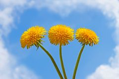 Tres flores del diente de león Imagen de archivo
