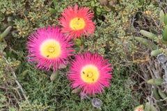 Tres flores del Elandsvy Imagen de archivo libre de regalías