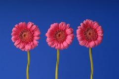 Tres flores del gerber Imagen de archivo libre de regalías