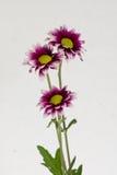 Tres flores florecientes Foto de archivo