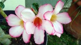 Tres flores hermosas de la hermana Fotos de archivo