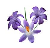 Tres flores púrpuras del azafrán Imagenes de archivo