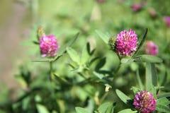 Tres flores púrpuras del trébol del campo se cierran para arriba Fotografía de archivo libre de regalías