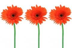 Tres flores rojas Imagenes de archivo