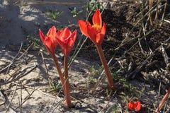 Tres flores rojas brillantes en troncos rojos en ground.jpg arenoso Imagen de archivo libre de regalías