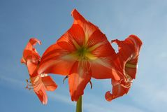 Tres flores rojas Hippeastrum y cielo azul imagen de archivo