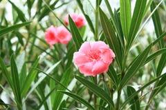 Tres flores rosados del melocotón imagen de archivo libre de regalías
