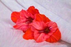 tres flores vivas hermosas de gladiolo en la tela blanca con los dobleces del color rojo Foto de archivo libre de regalías