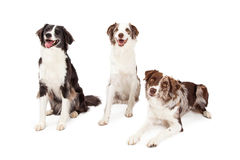 Tres frontera Collie Dogs Sitting And Laying Imagen de archivo
