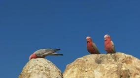 Tres galahs en los pináculos en Australia occidental