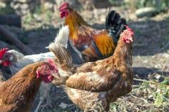 tres gallinas con un gallo en una granja casera fotos de archivo libres de regalías