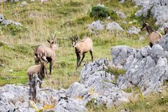 Tres gamuzas salvajes en un campo, el Jura, Francia Imagen de archivo