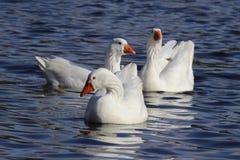 Tres gansos blancos Foto de archivo