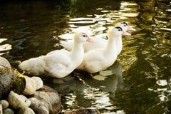 Tres gansos blancos en la charca Foto de archivo libre de regalías