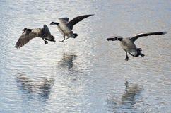 Tres gansos de Canadá que aterrizan en el lago winter Fotos de archivo libres de regalías