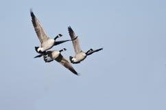 Tres gansos de Canadá que vuelan en cielo azul Foto de archivo libre de regalías