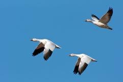 Tres gansos de nieve en vuelo Imagen de archivo libre de regalías