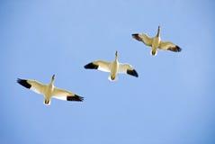 Tres gansos de nieve en vuelo fotos de archivo libres de regalías