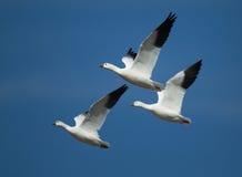 Tres gansos de ross en vuelo con un fondo del cielo azul Imagen de archivo libre de regalías